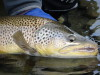 Brown trout_Mossburn