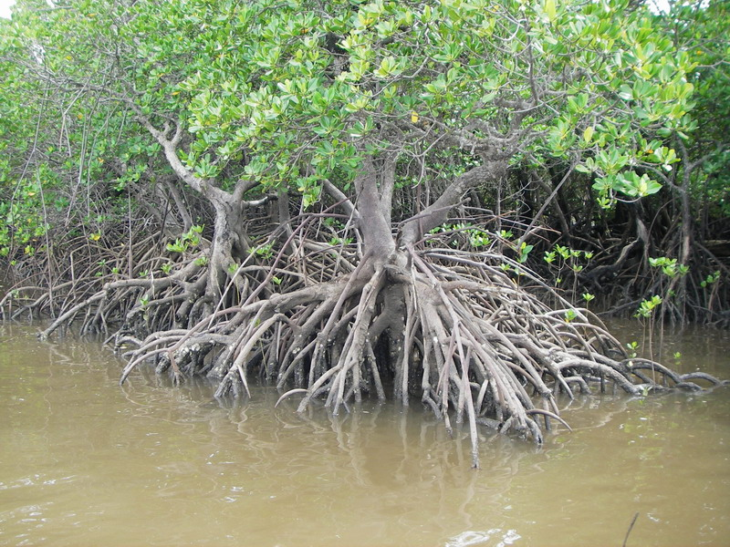 Fish And Fun 187 Blog Archive 187 Mangrove Root System