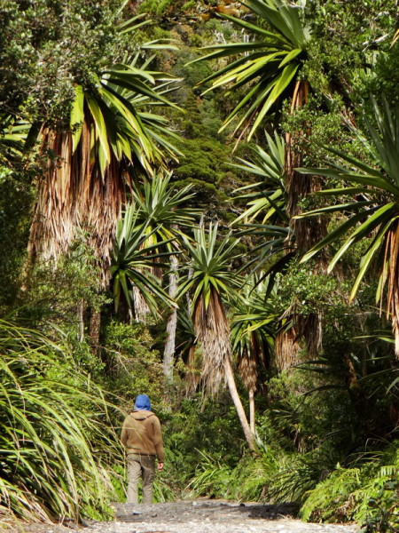 Mountain Cabbage Trees